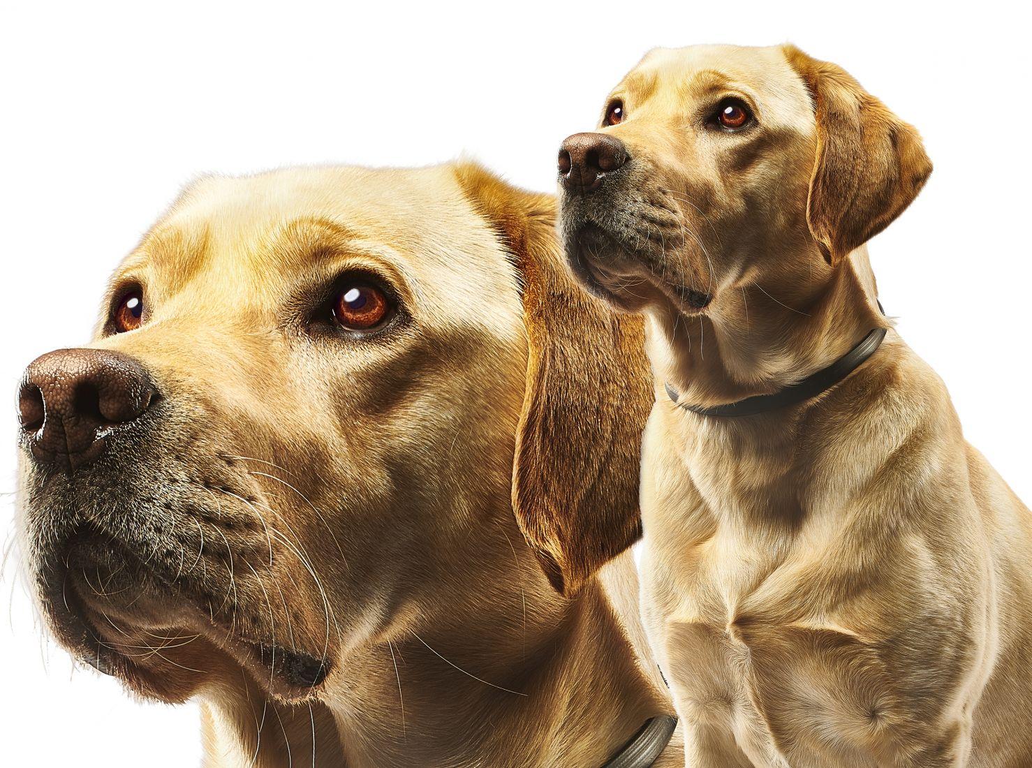 Beaphar Labrador-Retriever